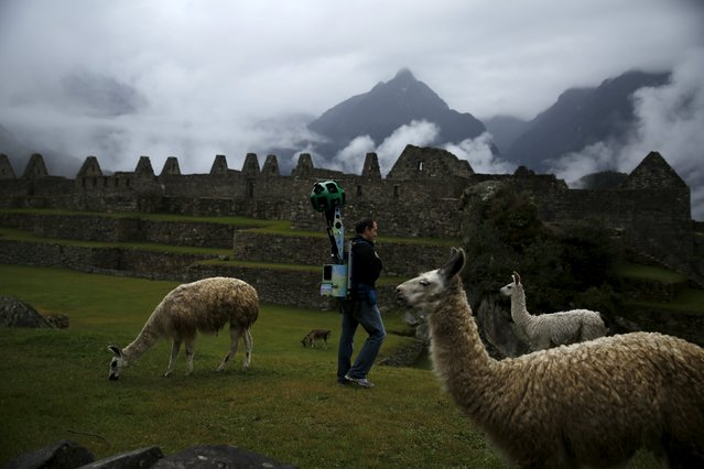 An operator walks among llamas, carrying the Trekker, a 15-camera device, while mapping the Inca citadel of Machu Picchu for Google Street View in Cuzco, Peru, August 11, 2015. (Photo by Pilar Olivares/Reuters)