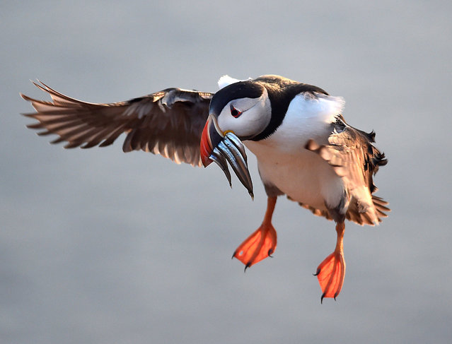 An Atlantic Puffin with sand eels in its bill flies to its burrow on the island of Skomer, Pembrokeshire, one of the most important wildlife sites in Europe and the breeding place for over 30,000 Atlantic Puffins, in Wales, Britain June 9, 2018. (Photo by Rebecca Naden/Reuters)