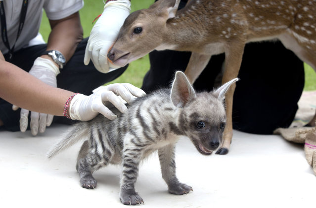 A zoo keeper holds a month old striped Hyena cub called Hachi at the Bali zoo in Giayar, Bali Indonesia on Saturday, February 6, 2021. (Photo by Firdia Lisnawati/AP Photo)