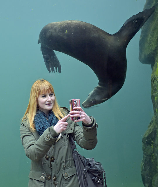 Julia takes a selfie with a seal in a water tunnel at the zoo in Gelsenkirchen, Germany, Monday, January 26, 2015. (Photo by Martin Meissner/AP Photo)