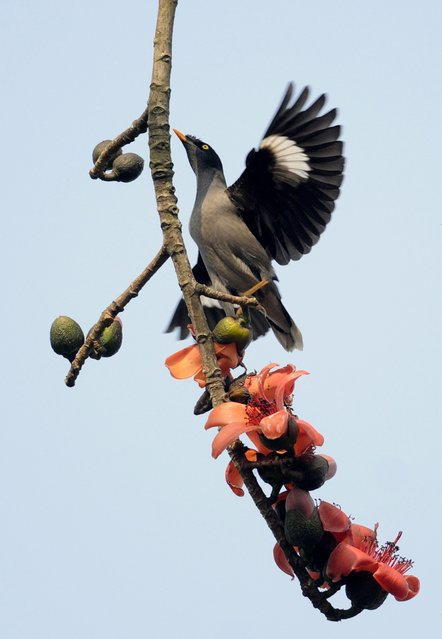 A mynah bird flies among simolu flowers in a tree on the outskirts of Guwahati on February 7, 2015. This seasonal flower attracts a variety of wild birds and honeybees. (Photo by AFP Photo/Stringer)