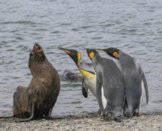 A group of king penguins have a standoff with a seal lion, September 2018. (Photo by Amy Kennedy/Barcroft Images/Comedy Wildlife Photography Awards)