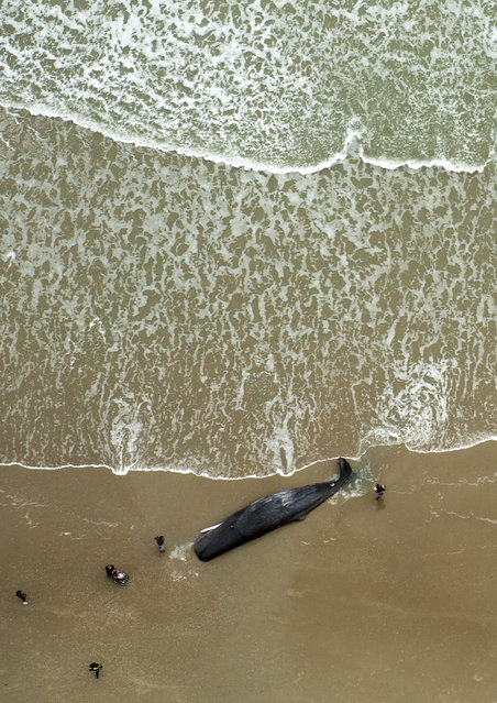 A dead sperm whale is seen on a beach on Texel Island, The Netherlands, January 13, 2016. (Photo by Cris Toala Olivares/Reuters)
