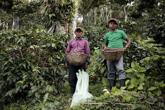 A man and his son, of the Nicaraguan ethnic tribe Sumos, pose for a picture as they pick coffee berries at the Nogales farm in Jinotega, Nicaragua January 7, 2016. (Photo by Oswaldo Rivas/Reuters)