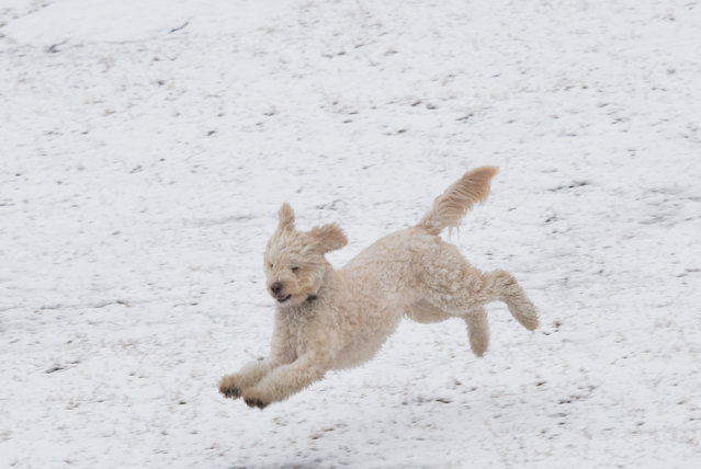 A dog plays in the snow at Georgetown Waterfront Park on March 5, 2015 in Washington, DC. A major winter storm slammed parts of the United States Thursday, as thousands of flights were canceled and government offices shut down in anticipation of more than half a foot of snow in the nation's capital. AFP PHOTO/MANDEL NGAN        (Photo credit should read MANDEL NGAN/AFP/Getty Images)