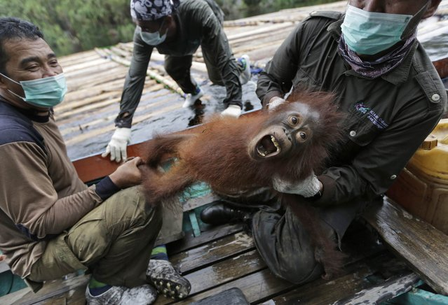 In this January 7, 2016, photo, conservationists of Borneo Orangutan Survival Foundation hold a baby orangutan rescued along with its mother during a rescue and release operation for orangutans trapped in a swath of jungle in Sungai Mangkutub, Central Kalimantan, Indonesia. Last year's forest fires drove orangutans closer to the river bank, where they had to live in an over-populated swath of forest as thin as 30 meters wide along the river. (Photo by Dita Alangkara/AP Photo)