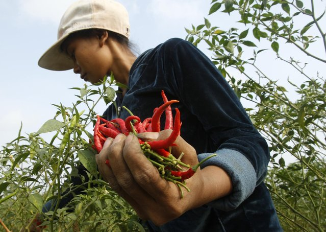 A Cambodian girl collects chili pepper at a farm near the Mekong river at Russey Chroy village, Kandal province, north of Phnom Penh, Tuesday, March 31, 2015, as the three-month-long harvest season started February. (Photo by Heng Sinith/AP Photo)