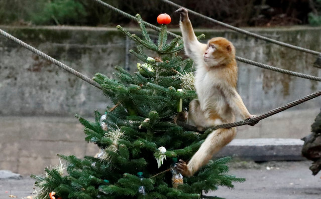 A Barbary macaques plays with leftover Christmas tree in the Tierpark Zoo in Berlin, Germany, January 4, 2019. (Photo by Fabrizio Bensch/Reuters)