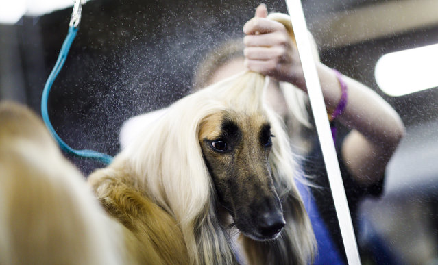 An Afghan Hound named Lily is groomed during the 2019 Westminster Kennel Club Dog Show in New York, New York, USA, 11 February 2019. The annual competition features hundreds of dogs from around the country. (Photo by Justin LaneJustin Lane/EPA/EFE)