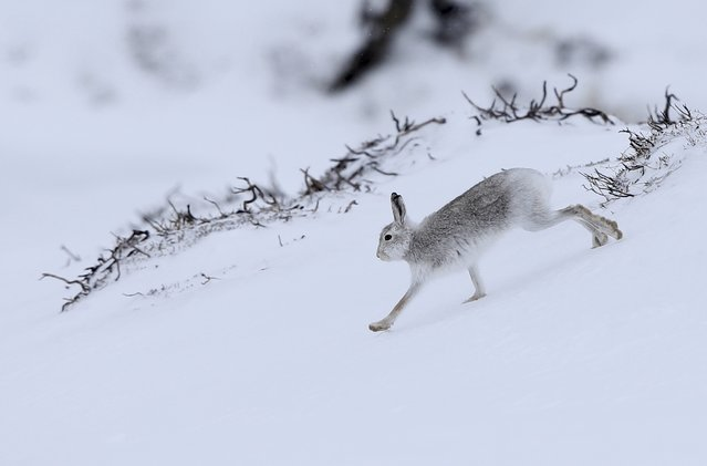 A mountain hare runs across the snow in the Cairngorm mountains near Glenshee in Scotland, Britain March 2, 2016. (Photo by Russell Cheyne/Reuters)
