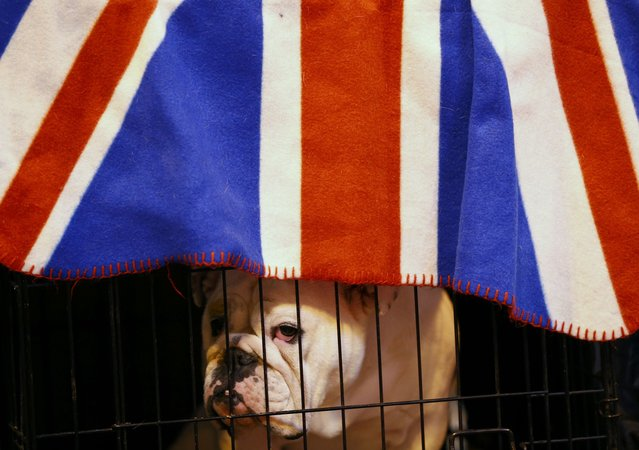 A Bulldog looks from its cage during the first day of the Crufts Dog Show in Birmingham, Britain March 10, 2016. (Photo by Darren Staples/Reuters)