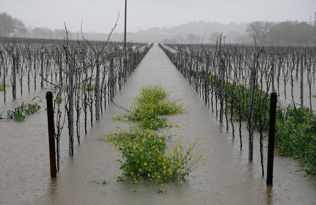 Mustard is seen between the rows of vineyards flooded by water from the Russian River Friday, March 11, 2016, in Forestville, Calif. Flood watches and warnings blanketed Northern California as the latest in a series of storms moved in, adding more moisture to an already wet March that has made up for a mostly bone-dry February in the drought-stricken state. (Photo by Eric Risberg/AP Photo)