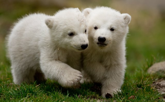 Two 14-week old polar bear twins explore their enclosure at the Hellabrunn Zoo for the first time in Munich, Germany, March 19, 2014. (Photo by Sven Hoppe/EPA)