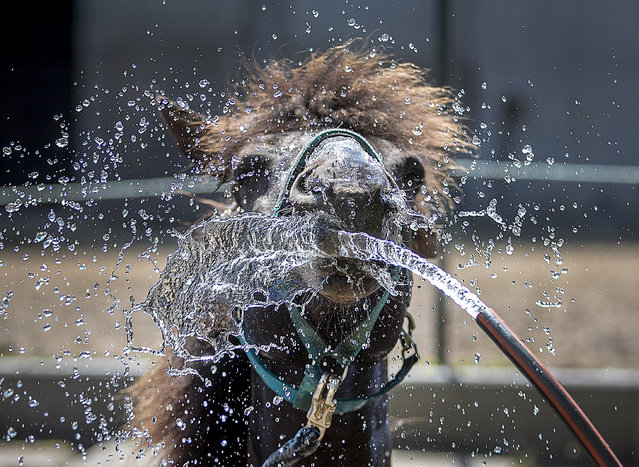 In Iceland horse is sprayed with water at a stud in Wehrheim near Frankfurt, Germany, on a hot and sunny Wednesday, June 26, 2019. Hot temperatures are expected all over Europe. (Photo by Michael Probst/AP Photo)