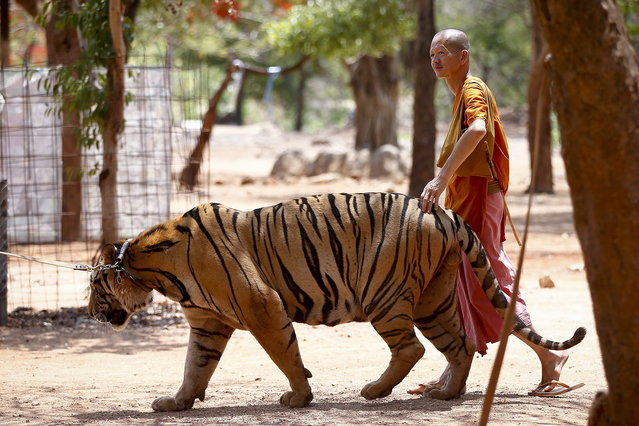 """A picture made available 26 April 2016 shows a Buddhist monk walking with a tiger at the Tiger Temple in Kanchanaburi province, Thailand, 24 April 2016. The site known in Thai as """"Wat Pa Luangta Maha Bua Yannasampanno"""" has been the focus of a dispute with the Department of National Parks, Wildlife and Plant Conservation (DNP) after the DNP asked in 2015 that the temple hands over its 147 tigers since it was not licensed to keep them. The temple has requested for a zoo license according to its managing director. (Photo by Diego Azubel/EPA)"""