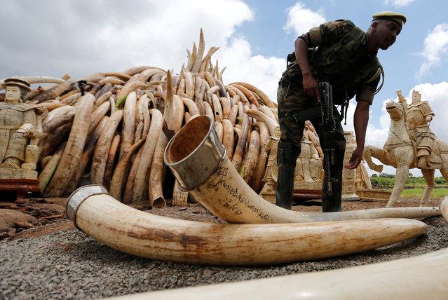 A Kenya Wildlife Service (KWS) ranger stacks elephant tusks, part of an estimated 105 tonnes of confiscated ivory to be set ablaze, onto a pyre at Nairobi National Park near Nairobi, Kenya, April 28, 2016. (Photo by Thomas Mukoya/Reuters)