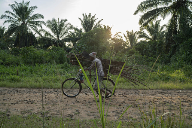 In this Tuesday, July 16, 2019 photo, a man carries wood on his bicycle as he rides past a cemetery in Beni, Congo. More than 1,700 people in eastern Congo have died of Ebola in the past year, as the virus has spread in areas too dangerous for health teams to access. (Photo by Jerome Delay/AP Photo)