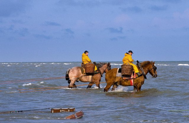 Belgian shrimp fishermen ride carthorses to haul nets out in the sea to catch shrimps during low tide at the coastal town of Oostduinkerke, Belgium July 3, 2015. (Photo by Yves Herman/Reuters)