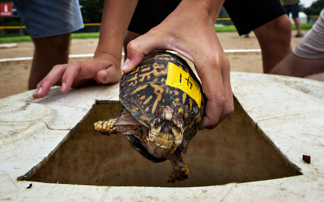 Austin Burden, 15, places a box turtle in the bin before a heat during the Terrapin Race on Saturday, July 4, 2015, at the 35th annual Green River Catfish Festival in Morgantown, Ky. (Photo by Miranda Pederson/Daily News via AP Photo)