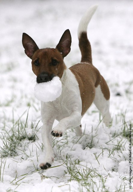 Eddie the Jack Russell plays fetch with a snowball as snow falls in the village of Poynton as the winter weather continues to spread through Britain