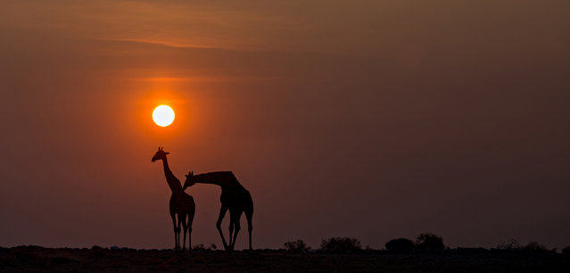 """Affection"". A giraffe showing affection for another. Photo location:  Namibia. (Photo and caption by William Chua/National Geographic Photo Contest)"