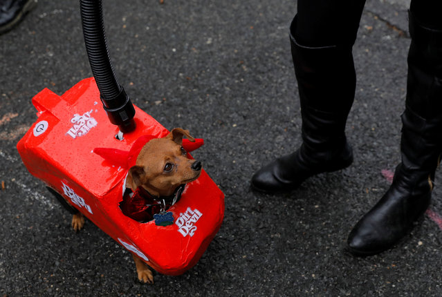 Dave, a Miniature Pinscher, is dressed as a vacuum cleaner at the Tompkins Square Halloween Dog Parade in Manhattan, New York City, U.S., October 20, 2019. (Photo by Andrew Kelly/Reuters)