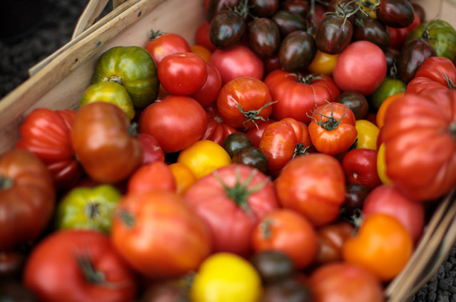 Varieties of tomatoes are displayed in a basket at the Chelsea Flower Show on May 22, 2017 in London, England. (Photo by Jack Taylor/Getty Images)
