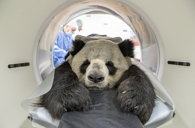 In this Thursday November 7, 2019 photo, provide by the Berlin Zoo, nine years old male Panda Jiao Ling is prepared for an examination in the computer tomograph in Berlin, The veterinarians of the zoo wanted to investigate the function the different sized kidneys. (Photo by Berlin Zoo via AP Photo)