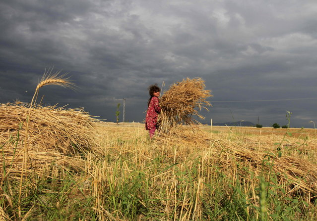 An Afghan girl works on a wheat field in Nangarhar province, Afghanistan May 12, 2015. (Photo by Reuters/Parwiz)