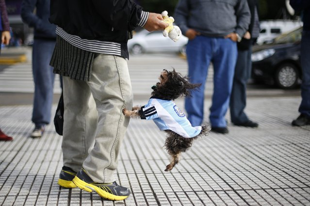 A dog wearing the national Argentinian soccer jersey jumps next to its owner, before the team's World Cup final soccer match against Germany, in Buenos Aires July 13, 2014. (Photo by Ivan Alvarado/Reuters)