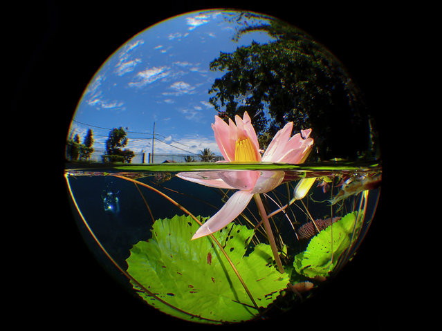 Compact category winner: Uluna Lily by Man B.D. (Malaysia) in Uluna Lake, Manado, North Sulawesi, Indonesia. Uluna Lake in North Sulawesi, located 670 metres above sea level, is famous for its water lilies, which only bloom in the morning. (Photo by Man B.D./Underwater Photographer of the Year 2020)