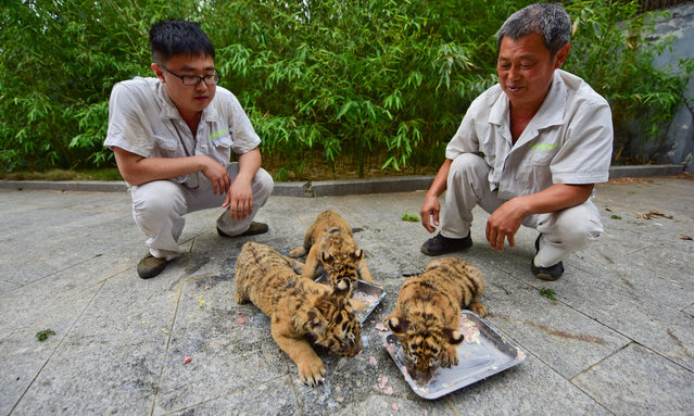 "Zoo keeperd feed triplets Siberian tiger cubs at Yantai Zoo on July 4, 2016 in Yantai, Shandong Province of China. The Siberian tiger triplets cubs were born at the end of April by their mother ""LuLu"", a Siberian tiger which was 12 years old and then abandoned feeding them after their birth. (Photo by Chu Yang/VCG via Getty Images)"