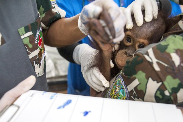 Thai veterinarians collect finger prints of 2-years-old orangutan during a health examination at Kao Pratubchang Conservation Centre in Ratchaburi, Thailand, August 27, 2015. (Photo by Athit Perawongmetha/Reuters)