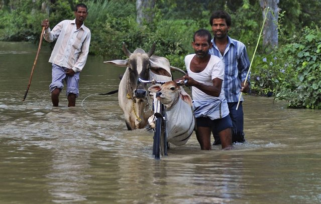 A calf is transported in a plastic bag hanging from a bicycle as flood affected Indian villagers try to move to safer places with their cattle in Barabanki district of Uttar Pradesh state, India, Monday, August 18, 2014. The death toll from three days of flooding and torrential rain in Nepal and India rose to more than 180 people Monday, as relief teams sent food, tents and medicine to prevent any outbreaks of disease. (Photo by Sanjay Sonkar/AP Photo)