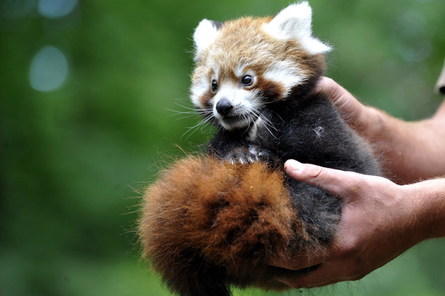 The first red panda cub was born on May 30 in zoo Zlin. Zoologist Roman Vrzal holds a male of red panda. The Red panda is pictured in Zlin, Czech Republic, August 20, 2014. (Photo by Dalibor Gluck/CTK)