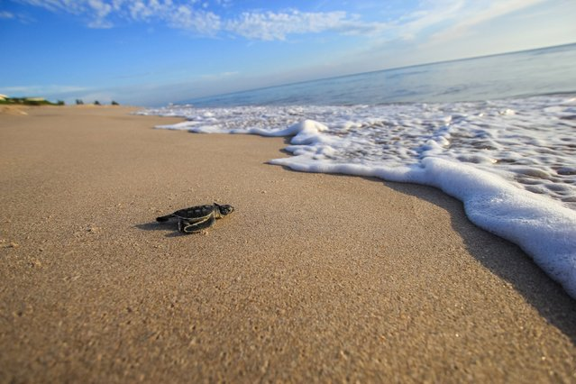 A green sea turtle hatchling is seen in Archie Carr National Wildlife Refuge in Florida in this handout photo provided on Septemebr 1, 2015 by University of Central Florida, Gustavo Stahelin. (Photo by Gustavo Stahelin/Reuters/University of Central Florida)