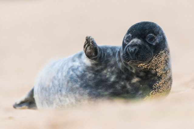 """Waving Seal"". Highly Commended in the Portraits category. (Photo by Luke Wilkinson/British Wildlife Photography Awards 2014)"