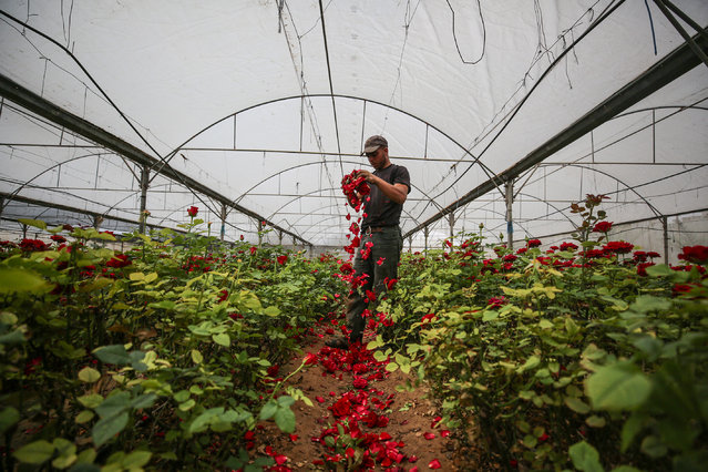 A florist picks up flowers to smash them at a greenhouse after decreasing in demand at markets due to coronavirus (COVID-19) pandemic in Rafah, Gaza on April 18, 2020. (Photo by Mustafa Hassona/Anadolu Agency via Getty Images)