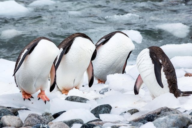 This photo was taken on an expedition to Antarctica in January 2017 on Cuverville Island. A large breeding colony of Gentoo penguins live on this island. In the picture you can see them grooming, but it looks like they all have no head. (Photo by Monique Joris/Comedy Wildlife Photography Awards/Barcroft Media)