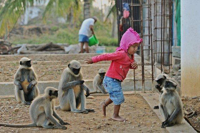 In this photograph taken on December 8, 2017, Indian child Samarth Bangari, 2, plays with langur monkeys at his home in Allapur in India' s southwest Karnataka state. (Photo by Manjunath Kiran/AFP Photo)