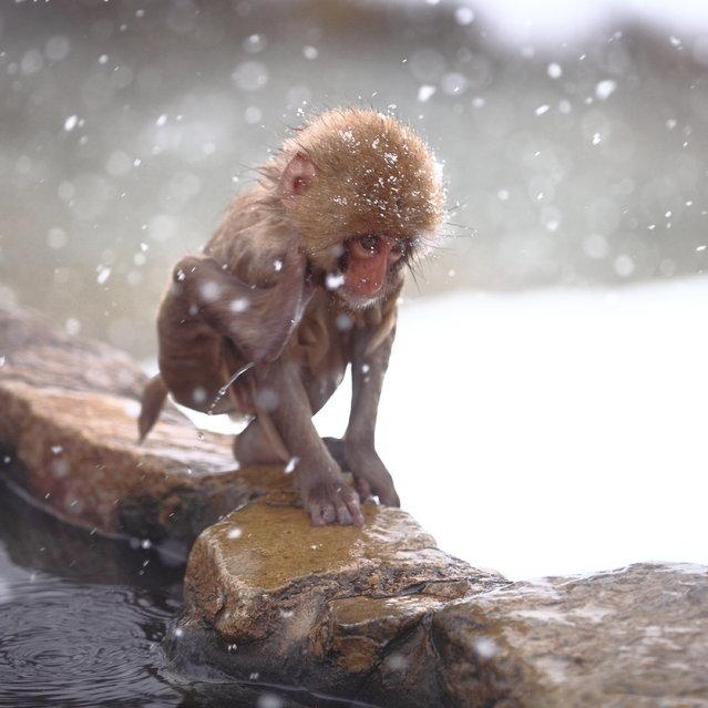 """Child in the Snow. Snow monkey at """"Jigokudani hot-spring"""" in Nagano, Japan. (Kiyoshi Ookawa)"""
