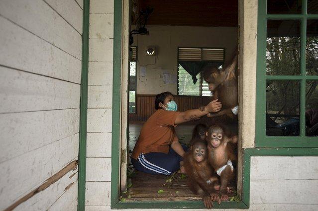 Baby orangutans play with their keeper at the nursery of Borneo Orangutan Survival Foundation in Nyaru Menteng, Indonesia's Central Kalimantan province, October 5, 2015 in this photo taken by Antara Foto. (Photo by Rosa Panggabean/Reuters/Antara Foto)