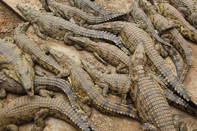Thousands Of Crocodiles Escape From Farm