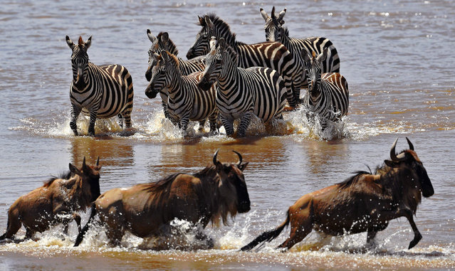 Zebras walk towards crossing wildebeest in the Mara river during the annual wildebeest migration in the Masai Mara game reserve on September 13, 2016. (Photo by Carl De Souza/AFP Photo)