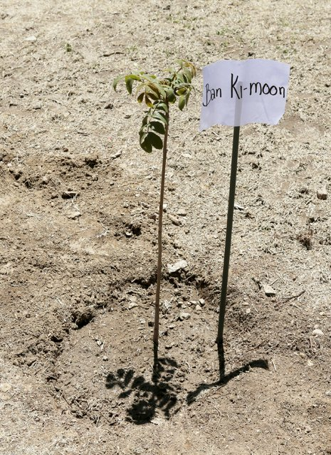 A seedling planted by U.N. Secretary-General Ban Ki-Moon is pictured in Vila Vila, south of Cochabamba, October 11, 2015. (Photo by David Mercado/Reuters)