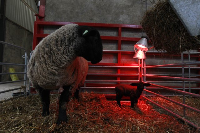 A lamb in a pen stands under a heat lamp at the farm of sheep breeder Patrick Donnelly, near the town of Ballymena in County Antrim, northern Ireland February 22, 2013. British and Irish sheep farmers fear for their future as an oversupply of lamb in recession-hit Europe drags farm-gate prices to three-year lows while production costs have soared. (Photo by Cathal McNaughton (Northern Ireland)/Reuters)