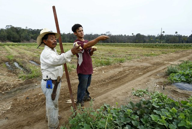 Makoto Chino (R) organises the morning harvest on his family's farm in Rancho Santa Fe, California August 13, 2014. (Photo by Mike Blake/Reuters)