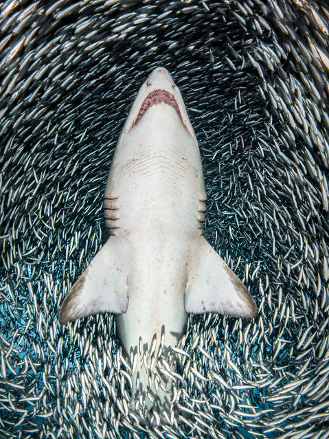 """Portrait category - winner. """"A sand tiger shark surrounded"""" by tiny bait fish by Tanya Houppermans (US). Location: Wreck of Caribsea, North Carolina. Houppermans caught this dramatic shot while diving to the wreck of the Caribsea and seeing the fierce-looking, but docile, sand tiger sharks that frequent the wreck. On this particular day millions of tiny fish, collectively known as """"bait fish"""", were grouped together in an enormous bait ball above the wreck. As she moved with the shark through the water the bait fish parted way, giving her a clear shot of the underside of this beautiful shark. (Photo by Tanya Houppermans/UPY 2018)"""