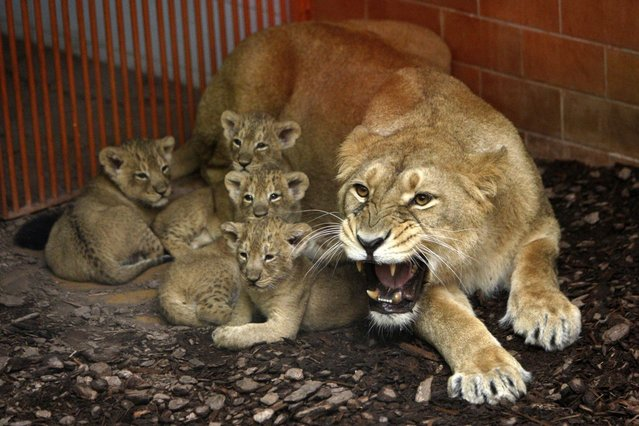 Shirwane, an Indian Lion, growls as her six-week-old cubs are approached at the Budapest Zoo March 28, 2013. (Photo by Bernadett Szabo/Reuters)