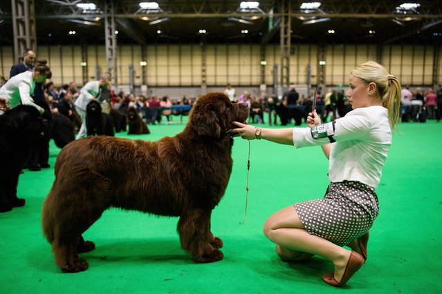 An owner sits with her Newfoundland dog during a competition round at the Crufts dog show at the NEC Arena on March 8, 2018 in Birmingham, England. (Photo by Leon Neal/Getty Images)